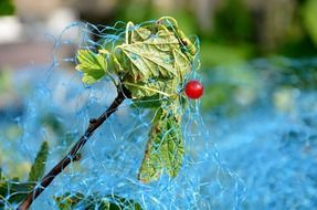 red currant on branch under protection net