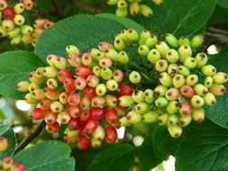 viburnum lantana, unripe berries on bush