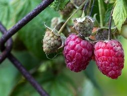 two ripe raspberries on the branch