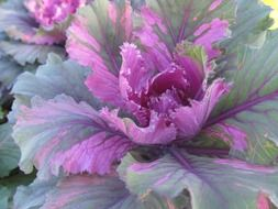 purple green cabbage