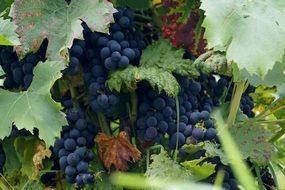 dark blue clusters of grapes