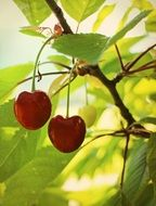 a pair of red sweet cherries on the branch