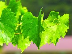 Leaves of grapevine in nature