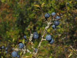 blue fruits of blackthorn on a sunny day