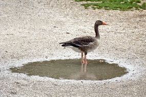 greylag goose in a puddle