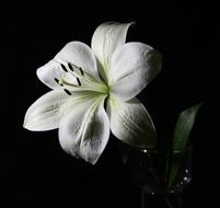 lily white plant