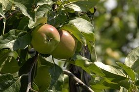 Two green apples on a tree branch
