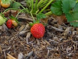 ripe strawberries on dry grass