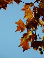 tree leaves in autumn against the sky