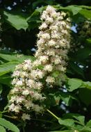 horse chestnut, blooming tree