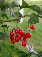 bunches of red berries on a bush