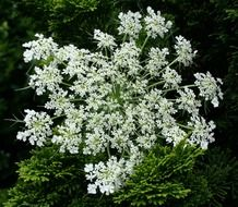 Queen Anne\'s Lace This Plant