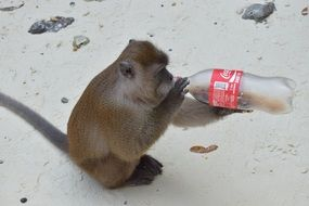 Monkey is drinking a coca cola