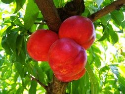 red peaches on a tree