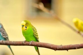 green wavy parrot on a branch