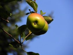 apple fruit tree vitamins