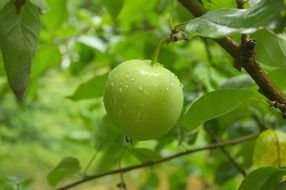 green apple in raindrops on a tree