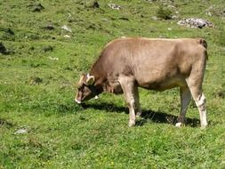 cow grazing in the mountains, austria, tyrol
