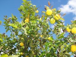 lemon tree with lemons