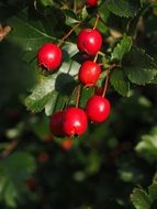 red berries fruits