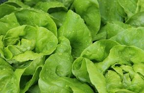 green salad leaf lettuce