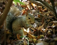 squirrel gnaws a nut