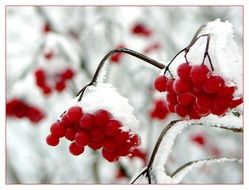 red berries in the snow in winter