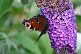 peacock butterfly drinks nectar from a purple flower