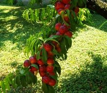 branch of ripe peaches