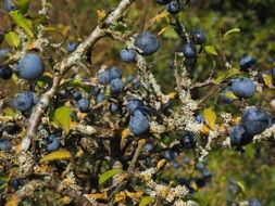 Bush with blue berries close-up