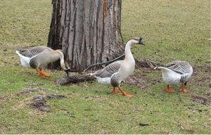 foraging domestic geese
