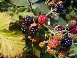 ripe and unripe blackberry on a bush in the fores