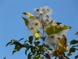 hairy clematis vitalba against the blue sky