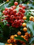firethorn fruits