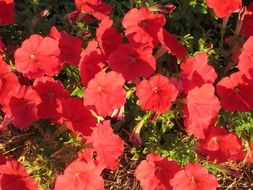 petunia red floral plants