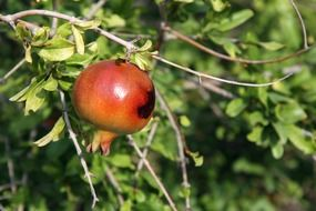 red pomegranate on a tree branch