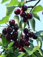 red sweet fruit tree cherry
