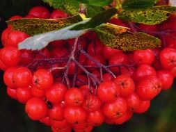 rowan berries plant tree nature