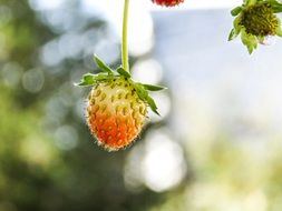 unripe strawberries in the forest