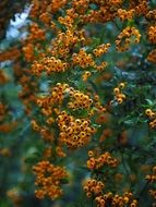 Pyracantha is a genus of thorny evergreen shrubs