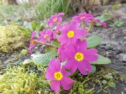 pink primula wildflowers outdoors
