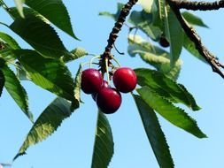 sweet cherry tree branch
