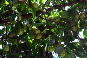 the fruits of Garcinia on a tropical evergreen tree