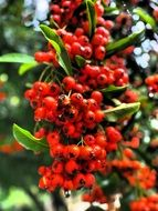 firethorn red berries