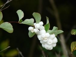 branch of the Albus snowberry