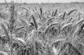 crop field, black and white