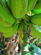 bottom view of a branch of green bananas on the banana tree