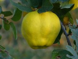 yellow fresh quince fruit