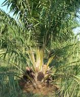 lovely oil palm