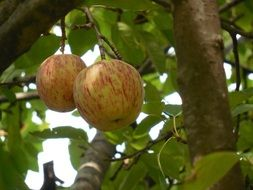 two spotted apples on a tree close-up